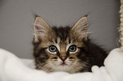 En fluffig kattunge royaltyfri fotografi