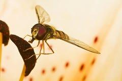 En fluga Arkivfoto