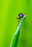 En fluga för St Mark ` s på vassnärbildmakro Arkivbilder