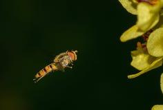 En fluga i flykten Arkivbild