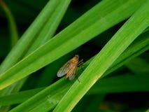 En fluga i gräset Arkivbilder