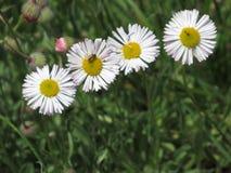 En fluga och de fyra blommorna Royaltyfri Foto