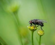 En fluga på blomman Fotografering för Bildbyråer