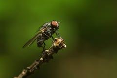 En fluga på en filial Arkivbilder