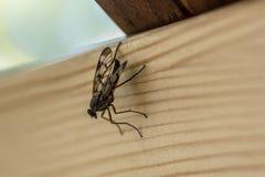 En fluga på ett träbrädeslut upp arkivfoton