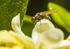 En fluga p? pittosporumkronbladet stock illustrationer