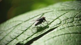 En fluga sitter p? ett gr?nt blad av gr?s och tv?ttar sig arkivfilmer