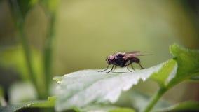 En fluga sitter p? ett gr?nt blad av gr?s och tv?ttar sig stock video