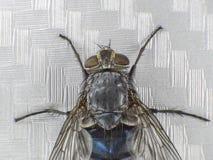 En fluga, upp, makro, stor fluga, gigantiskt kryp, bästa sikt Royaltyfri Foto