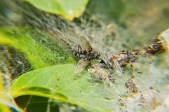 En fluga som klibbas i en spindelrengöringsduk - makrofoto arkivfoton