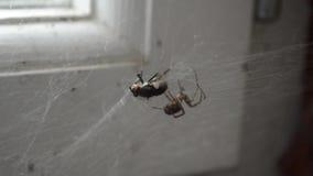 En fluga trasslade till i rengöringsduken på spindeln arkivfilmer