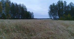En flyg- sikt för vetefält stock video