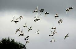 En flygflock av vita duvor mot himlen Royaltyfri Bild