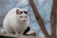 En fokuserad gullig vit katt Royaltyfri Foto