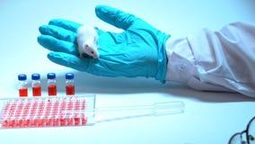 En forskare i disponibla handskar och ett vitt lag introducerar drogen in i munnen av en grå laboratoriummus Begrepp lager videofilmer
