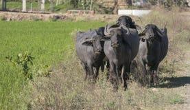 En främre sikt av fyra bufflar royaltyfri foto