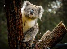 En frågvis koala på ett träd Arkivbild