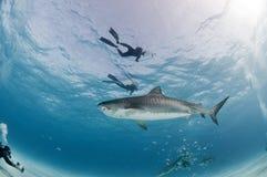 En frågvis tigerhaj som ut kontrollerar en grupp av dykare Royaltyfri Fotografi