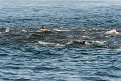 En fröskida av långa näbbformiga gemensamma delfin Royaltyfri Fotografi