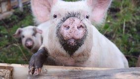En framsida av det lilla svinet Fotografering för Bildbyråer