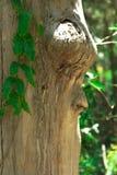 En framsida i trädet Royaltyfri Fotografi