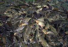 En frenesi av av den sakrala fisken (karp) slukar fiskkulor som kastas in i Balikli Gol (den Abrahams pölen) i Urfa i Turkiet Royaltyfri Bild