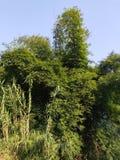 En frodig bambuskog i min hemstad royaltyfri bild