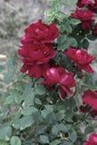 En frodig buske av röda rosor på en bakgrund av naturen arkivfoton