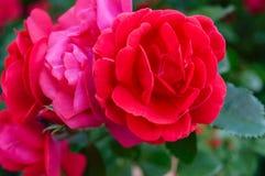 En frodig buske av röda rosor på en bakgrund av naturen fotografering för bildbyråer
