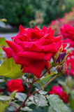 En frodig buske av röda rosor på en bakgrund av naturen Många blommor och knoppar på stammen royaltyfria foton