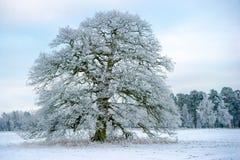 En Frosty Grand Old Oak Arkivfoton
