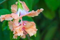 En full och härlig orange blommablom efter ett hårt regn i en frodig thailändsk trädgård royaltyfri fotografi