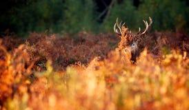 En fullvuxen hankronhjort för röda hjortar Arkivfoto