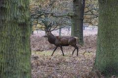 En fullvuxen hankronhjort för röda hjortar Royaltyfria Bilder