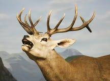 En fullvuxen hankronhjort för röda hjortar som vrålar för att hålla hans harem tillsammans Arkivfoton