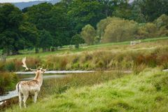 En fullvuxen hankronhjort på Powderham, UK Arkivfoto