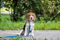 En fundersam beaglevalp med en blå koppel på en gå i en stad parkerar Stående av en trevlig valp arkivfoton