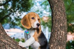 En fundersam beaglevalp med en blå koppel på en gå i en stad parkerar Stående av en trevlig valp fotografering för bildbyråer