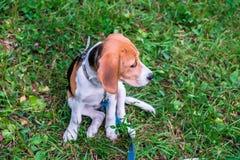 En fundersam beaglevalp med en bl? koppel p? en g? i en stad parkerar St?ende av en trevlig valp royaltyfri foto