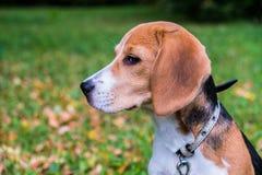 En fundersam beaglevalp med en bl? koppel p? en g? i en stad parkerar St?ende av en trevlig valp arkivbild
