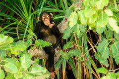 En fundersam schimpans Arkivfoto