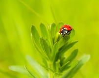 En gå till och med gräsnyckelpigan arkivfoto