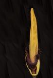 En gång varje tio år likblomman, Amorphophallus titanum, Arkivbild