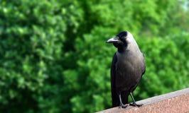 En galande är en fågel av släktet Corvus eller är i huvudsak en synonym för all corvusen royaltyfri foto