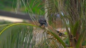 En galande på en kokosnöt gömma i handflatan lager videofilmer