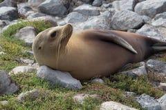 En Galapagos sjölejon vaknar från hans slummer Royaltyfria Foton
