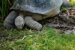 En galapagos sköldpadda som äter gräs på zoo Royaltyfria Foton