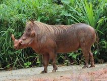 En galtbild på den Singapore zoo Fotografering för Bildbyråer
