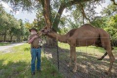 En gamal man som matar hans kamel Arkivbild