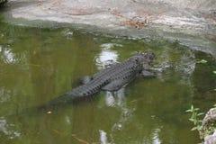 En gammal alligator Arkivfoton